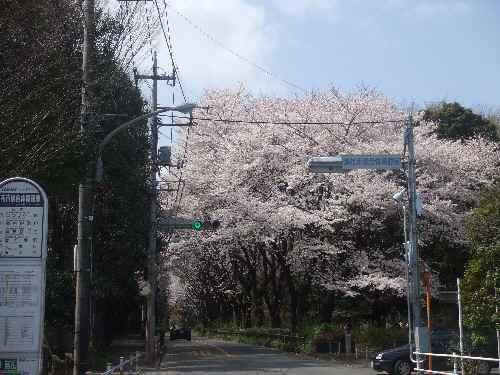 a桜aa.JPG