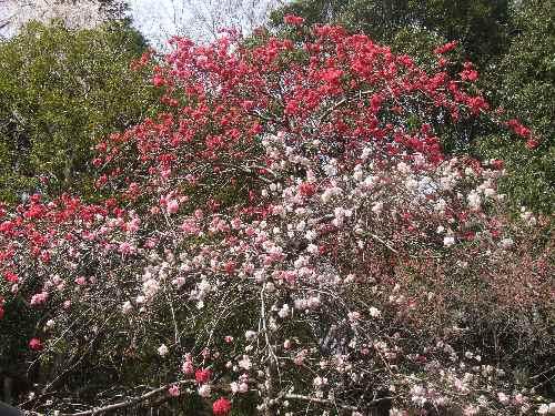 a桜ab.JPG