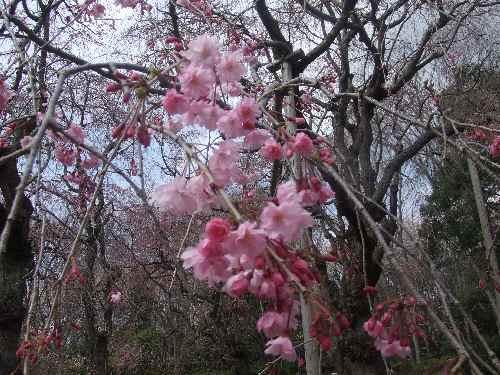 a桜ac.JPG