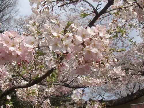 a桜ad.JPG