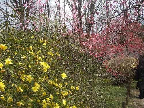 a桜af.JPG