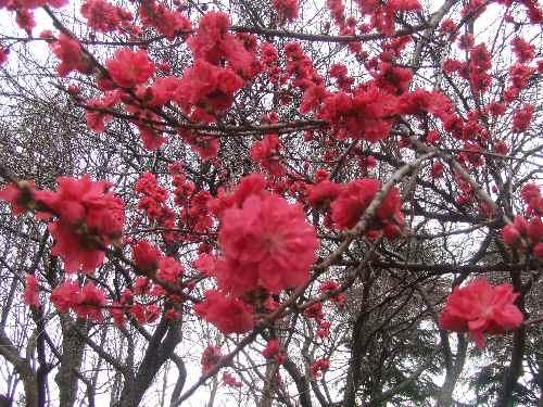a桜ag.JPG