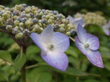 aad紫陽花ah1.jpg
