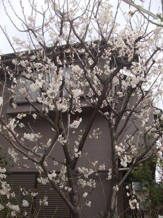 aai桜ab1.jpg