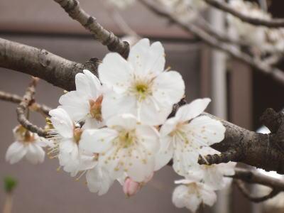 aai桜ad1.jpg