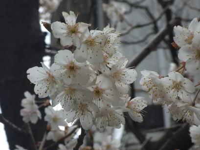 aai桜ae1.jpg
